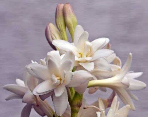 Tuberose Floral Absolute Oil