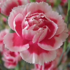 Carnation Floral Absolute Oil