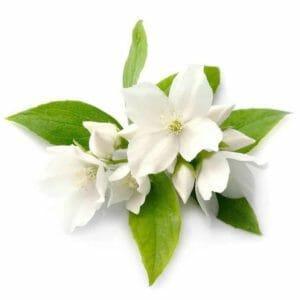 Jasmine Grandiflorum Hydrosol