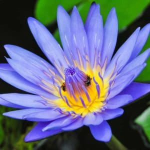 Blue Lotus Floral Absolute Oil