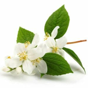 Jasmine Grandiflorum Floral Absolute Oil
