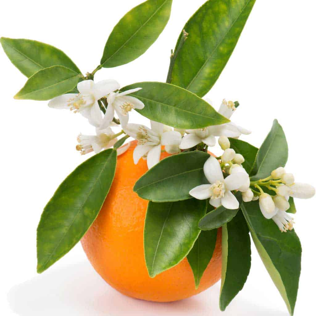 Orange Blossom Floral Absolute Oil