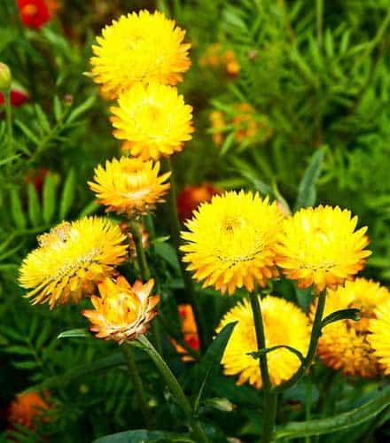 Helichrysum Hydrosol